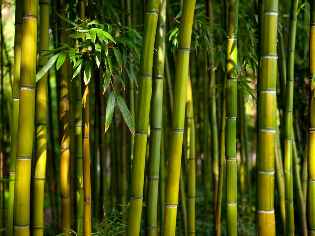 Stalk of green bamboo growing in forest