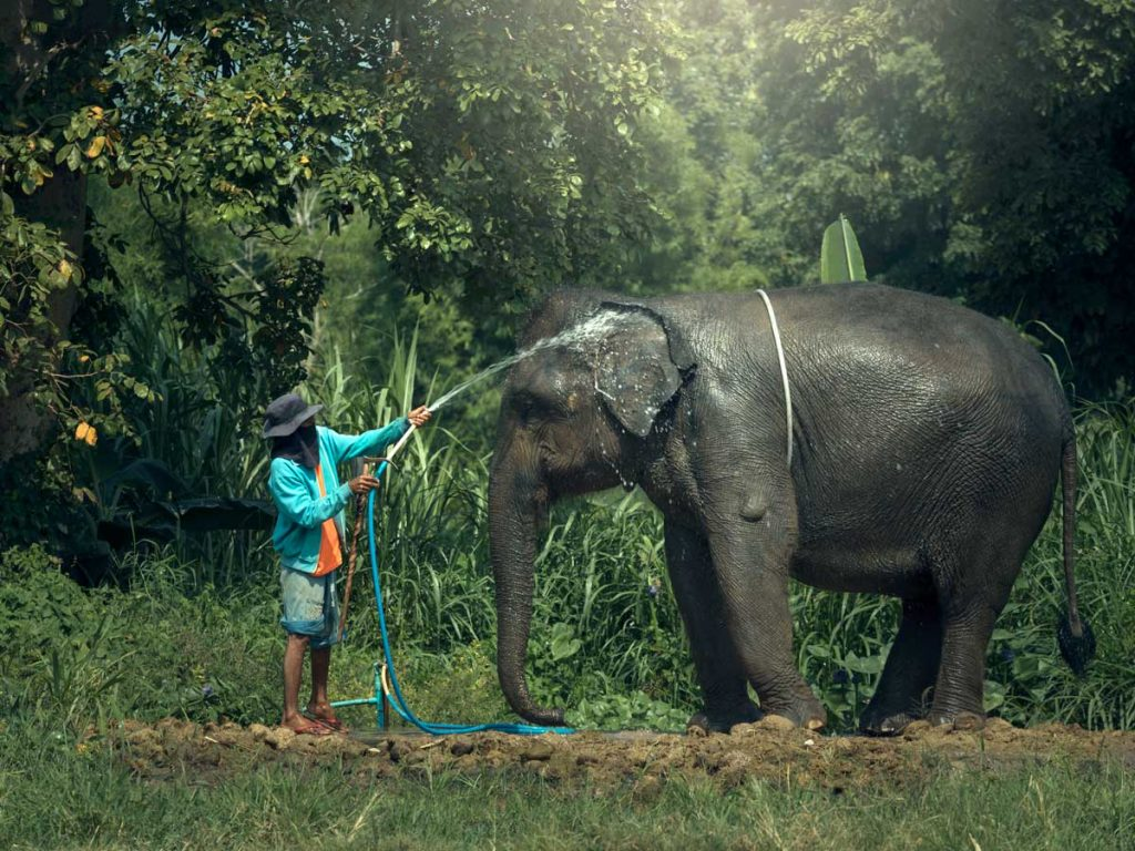 Man washing elephant with hose in the jungle.